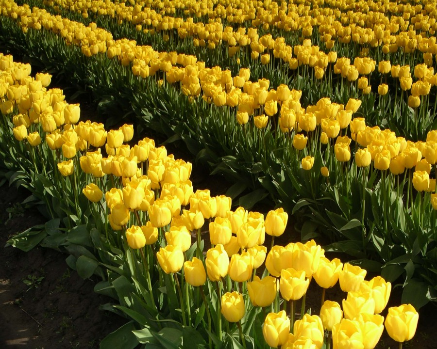 Skagit Valley Tulip Festival Parking Map